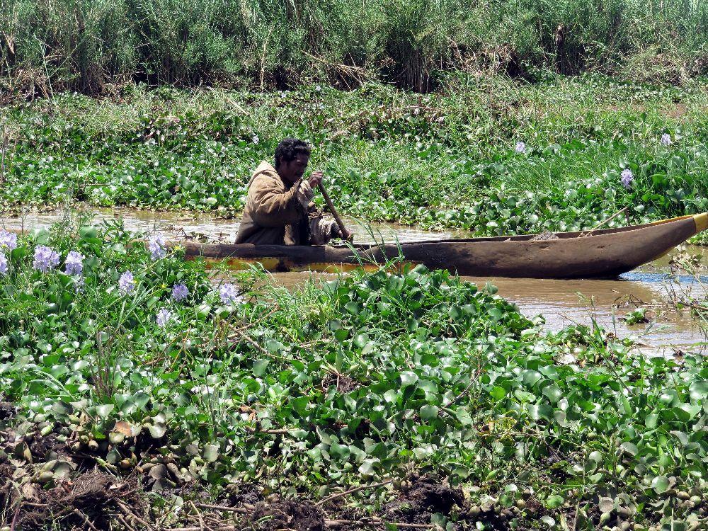 Water hyacinth as an alternative source
